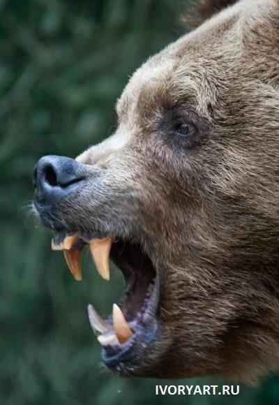 Половой член медведя